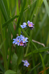 Forget-me-not (Laura.Kerr) Tags: plants plant flower flowers wildflower wildflowers nature forgetmenot myosotis