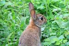 IMG_7871 Wildlife ~ 2019-06-09 @ Brandon Marsh (1) (www.EGBE.info) Tags: warwickshirewildlifetrust wildlifestudies brandonmarshnaturecentre davelenton wwwegbeinfo 09062019 babyrabbit