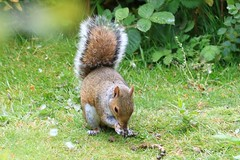 IMG_7869 Wildlife ~ 2019-06-09 @ Brandon Marsh (1) (www.EGBE.info) Tags: warwickshirewildlifetrust wildlifestudies brandonmarshnaturecentre davelenton wwwegbeinfo 09062019 greysquirrel
