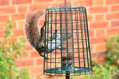 IMG_7865 Wildlife ~ 2019-06-09 @ Brandon Marsh (1) (www.EGBE.info) Tags: warwickshirewildlifetrust wildlifestudies brandonmarshnaturecentre davelenton wwwegbeinfo 09062019 greysquirrel
