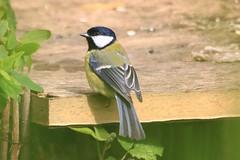 IMG_7851 Wildlife ~ 2019-06-09 @ Brandon Marsh (1) (www.EGBE.info) Tags: warwickshirewildlifetrust wildlifestudies brandonmarshnaturecentre davelenton wwwegbeinfo 09062019 greattit