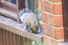IMG_7846 Wildlife ~ 2019-06-09 @ Brandon Marsh (1) (www.EGBE.info) Tags: warwickshirewildlifetrust brandonmarshnaturecentre wildlifestudies davelenton wwwegbeinfo 09062019 greysquirrel