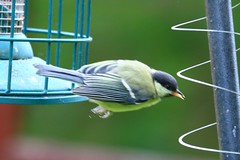 IMG_7835 Wildlife ~ 2019-06-09 @ Brandon Marsh (1) (www.EGBE.info) Tags: warwickshirewildlifetrust wildlifestudies brandonmarshnaturecentre davelenton wwwegbeinfo 09062019 greattit