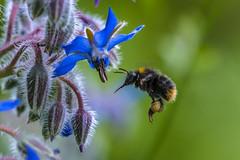 Hummel an Borretsch -  bumblebee to borage (doerrebachtaler) Tags: bee bumblebee bienen flug hummeln borretsch bienenweide