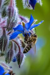 Biene an Borretsch (doerrebachtaler) Tags: bienen hummeln borretsch bienenweide bee