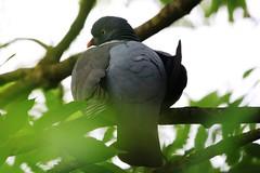 IMG_7806 Wildlife ~ 2019-06-09 @ Brandon Marsh (1) (www.EGBE.info) Tags: warwickshirewildlifetrust wildlifestudies brandonmarshnaturecentre davelenton wwwegbeinfo 09062019 woodpigeon