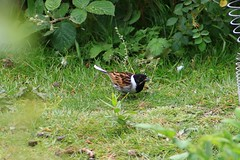 IMG_7803 Wildlife ~ 2019-06-09 @ Brandon Marsh (1) (www.EGBE.info) Tags: warwickshirewildlifetrust brandonmarshnaturecentre davelenton wildlifestudies wwwegbeinfo 09062019 reedbunting