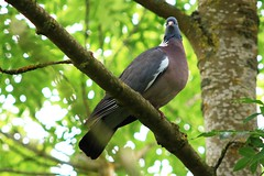IMG_7789 Wildlife ~ 2019-06-09 @ Brandon Marsh (1) (www.EGBE.info) Tags: warwickshirewildlifetrust wildlifestudies brandonmarshnaturecentre davelenton wwwegbeinfo 09062019 woodpigeon