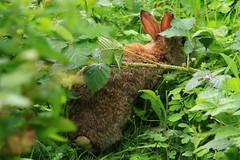 IMG_7783 Wildlife ~ 2019-06-09 @ Brandon Marsh (1) (www.EGBE.info) Tags: warwickshirewildlifetrust wildlifestudies brandonmarshnaturecentre davelenton wwwegbeinfo 09062019 wildrabbit