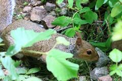 IMG_7780 Wildlife ~ 2019-06-09 @ Brandon Marsh (1) (www.EGBE.info) Tags: brandonmarshnaturecentre warwickshirewildlifetrust wildlifestudies davelenton wwwegbeinfo 09062019 greysquirrel