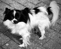 Bonnie (delnaet) Tags: papillon épargneul dog hond butterfly zwart wit chien hund black white noir blanc animal tiny little klein petit vlinderhond perro mariposa