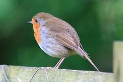 IMG_7765 Wildlife ~ 2019-06-09 @ Brandon Marsh (1) (www.EGBE.info) Tags: warwickshirewildlifetrust brandonmarshnaturecentre davelenton wildlifestudies wwwegbeinfo 09062019 robin