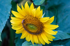 Sunflower and Bee (Merrillie) Tags: wyongcreek flowers nature australia sunflower newsouthwales earlymorning nsw sunflowers flora bee yarramalongturfsupplies insect plant annualplant green helianthusannuus yellow centralcoast field