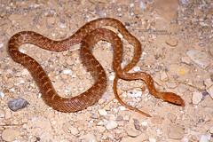 Telescopus dhara dhara (Matthieu Berroneau) Tags: sony alpha ff 24x36 macro nature wildlife animal fe sonya7iii sonya7mk3 sonyalpha7mark3 sonyalpha7iii a7iii 7iii 7mk3 sonyilce7m3 herp herping trip israel israël reptile reptilian reptilia serpent 90 f28 g oss fe90f28macrogoss sonyfesonyfe2890macrogoss objectifsony90mmf28macrofe sel90m28g snake couleuvre couleuvrechat telescopus tigersnake catsnake dhara telescopusdharadhara telescopusdhara arabian cat arabiancatsnake einhatul adamdam einhatuladamdam