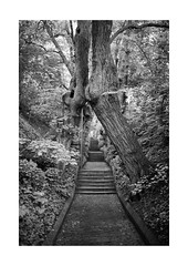 Step by Step (Thomas Listl) Tags: thomaslistl blackandwhite biancoenegro noiretblanc monochrome path steps stairs stone tree trees wood nature vanishingpoint 35mm 35mm14 av af leaves tones grey mood atmosphere onzeheuresetdemie 14