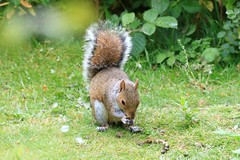 IMG_7870 Wildlife ~ 2019-06-09 @ Brandon Marsh (1) (www.EGBE.info) Tags: warwickshirewildlifetrust wildlifestudies brandonmarshnaturecentre davelenton wwwegbeinfo 09062019 greysquirrel