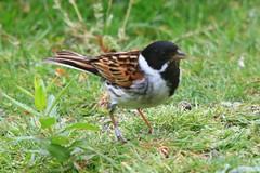 IMG_7844 Wildlife ~ 2019-06-09 @ Brandon Marsh (1) (www.EGBE.info) Tags: warwickshirewildlifetrust wildlifestudies brandonmarshnaturecentre davelenton wwwegbeinfo 09062019 reedbunting