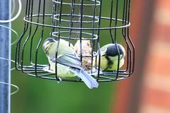 IMG_7815 Wildlife ~ 2019-06-09 @ Brandon Marsh (1) (www.EGBE.info) Tags: warwickshirewildlifetrust wildlifestudies brandonmarshnaturecentre davelenton wwwegbeinfo 09062019 greattit