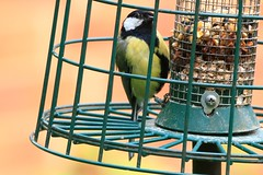 IMG_7810 Wildlife ~ 2019-06-09 @ Brandon Marsh (1) (www.EGBE.info) Tags: warwickshirewildlifetrust brandonmarshnaturecentre wildlifestudies davelenton wwwegbeinfo 09062019 greattit