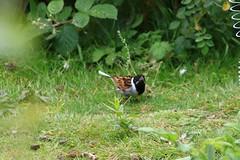 IMG_7804 Wildlife ~ 2019-06-09 @ Brandon Marsh (1) (www.EGBE.info) Tags: warwickshirewildlifetrust wildlifestudies brandonmarshnaturecentre davelenton wwwegbeinfo 09062019 reedbunting