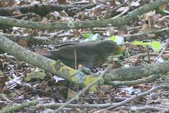 IMG_7799 Wildlife ~ 2019-06-09 @ Brandon Marsh (1) (www.EGBE.info) Tags: warwickshirewildlifetrust brandonmarshnaturecentre davelenton wildlifestudies wwwegbeinfo 09062019 blackbird