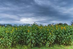 Sunflower Field (Merrillie) Tags: wyongcreek flowers nature australia sunflower newsouthwales earlymorning nsw sunflowers flora yarramalongturfsupplies plant annualplant green helianthusannuus yellow centralcoast field