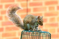 IMG_7862 Wildlife ~ 2019-06-09 @ Brandon Marsh (1) (www.EGBE.info) Tags: warwickshirewildlifetrust wildlifestudies brandonmarshnaturecentre davelenton wwwegbeinfo 09062019 greysquirrel
