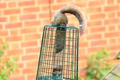 IMG_7858 Wildlife ~ 2019-06-09 @ Brandon Marsh (1) (www.EGBE.info) Tags: warwickshirewildlifetrust wildlifestudies brandonmarshnaturecentre davelenton wwwegbeinfo 09062019 greysquirrel