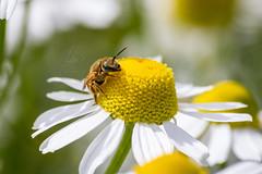 Goldglänzende Furchenbiene | Golden Furrow-Bee (BMelzer|Fotografie) Tags: wildbiene biene wollbiene macro natur wild bee canon canoneos750d sigma furrowbee kamille