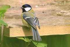 IMG_7850 Wildlife ~ 2019-06-09 @ Brandon Marsh (1) (www.EGBE.info) Tags: warwickshirewildlifetrust wildlifestudies brandonmarshnaturecentre davelenton wwwegbeinfo 09062019 greattit