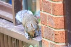 IMG_7847 Wildlife ~ 2019-06-09 @ Brandon Marsh (1) (www.EGBE.info) Tags: warwickshirewildlifetrust wildlifestudies brandonmarshnaturecentre davelenton wwwegbeinfo 09062019 greysquirrel