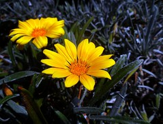 2 soli (fotomie2009) Tags: gazania yellow flower fiore flora two due 2 ngc