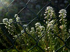 fenced spontaneity (fotomie2009) Tags: alyssum maritima alisso bianco white wild spontaneo spontaneous fence flower fiore flora