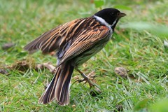 IMG_7838 Wildlife ~ 2019-06-09 @ Brandon Marsh (1) (www.EGBE.info) Tags: warwickshirewildlifetrust wildlifestudies brandonmarshnaturecentre davelenton wwwegbeinfo 09062019 reedbunting