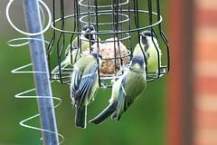 IMG_7827 Wildlife ~ 2019-06-09 @ Brandon Marsh (1) (www.EGBE.info) Tags: warwickshirewildlifetrust wildlifestudies brandonmarshnaturecentre davelenton wwwegbeinfo 09062019 greattit