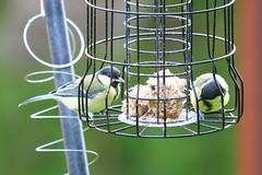 IMG_7824 Wildlife ~ 2019-06-09 @ Brandon Marsh (1) (www.EGBE.info) Tags: warwickshirewildlifetrust wildlifestudies brandonmarshnaturecentre davelenton wwwegbeinfo 09062019 greattit