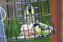 IMG_7822 Wildlife ~ 2019-06-09 @ Brandon Marsh (1) (www.EGBE.info) Tags: warwickshirewildlifetrust wildlifestudies brandonmarshnaturecentre davelenton wwwegbeinfo 09062019 greattit