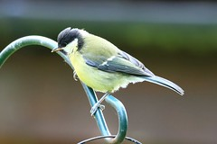 IMG_7817 Wildlife ~ 2019-06-09 @ Brandon Marsh (1) (www.EGBE.info) Tags: warwickshirewildlifetrust wildlifestudies brandonmarshnaturecentre davelenton wwwegbeinfo 09062019 greattit