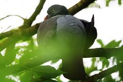IMG_7808 Wildlife ~ 2019-06-09 @ Brandon Marsh (1) (www.EGBE.info) Tags: warwickshirewildlifetrust wildlifestudies brandonmarshnaturecentre davelenton wwwegbeinfo 09062019 woodpigeon