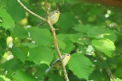 IMG_7796 Wildlife ~ 2019-06-09 @ Brandon Marsh (1) (www.EGBE.info) Tags: warwickshirewildlifetrust wildlifestudies brandonmarshnaturecentre davelenton wwwegbeinfo 09062019 bluetit