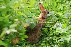 IMG_7788 Wildlife ~ 2019-06-09 @ Brandon Marsh (1) (www.EGBE.info) Tags: wildrabbit brandonmarshnaturecentre warwickshirewildlifetrust davelenton wwwegbeinfo 09062019 wildlifestudies