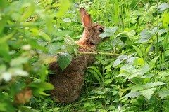 IMG_7787 Wildlife ~ 2019-06-09 @ Brandon Marsh (1) (www.EGBE.info) Tags: wildrabbit brandonmarshnaturecentre warwickshirewildlifetrust davelenton wwwegbeinfo 09062019 wildlifestudies