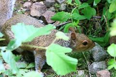 IMG_7779 Wildlife ~ 2019-06-09 @ Brandon Marsh (1) (www.EGBE.info) Tags: brandonmarshnaturecentre warwickshirewildlifetrust wildlifestudies davelenton wwwegbeinfo 09062019 greysquirrel