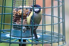 IMG_7769 Wildlife ~ 2019-06-09 @ Brandon Marsh (1) (www.EGBE.info) Tags: warwickshirewildlifetrust wildlifestudies brandonmarshnaturecentre davelenton wwwegbeinfo 09062019 greattit