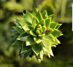 Spider (sillitilly) Tags: nature plant spider araucaria macro