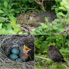Entwicklung...... (peterphot) Tags: amsel birds vögel natur sony sachsen