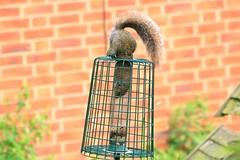 IMG_7860 Wildlife ~ 2019-06-09 @ Brandon Marsh (1) (www.EGBE.info) Tags: warwickshirewildlifetrust wildlifestudies brandonmarshnaturecentre davelenton wwwegbeinfo 09062019 greysquirrel