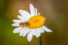 Goldglänzende Furchenbiene | Golden Furrow-Bee (BMelzer|Fotografie) Tags: wildbiene biene wollbiene macro natur wild bee canon canoneos750d sigma furrowbee margerite