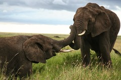 Friendship (__Thomas Tassy__) Tags: tanzanie tanzania serengeti safari elephant wildlife thomastassy