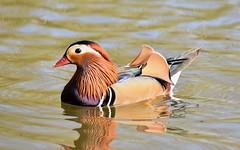 Beautiful Mandarin. (pstone646) Tags: mandarinduck bird nature animal waterbird wildfowl waterfowl reflection lake wildlife male duck colours fauna
